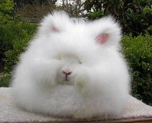 Angora-Rabbit6.jpg