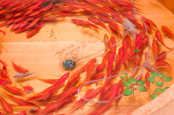 goldfish-2-3.jpg
