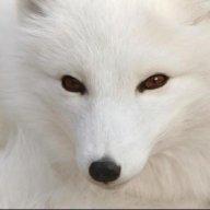 Arctic81Fox