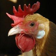 chicken1616