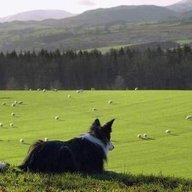 Sheepdog149