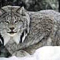 Lynx_the_one