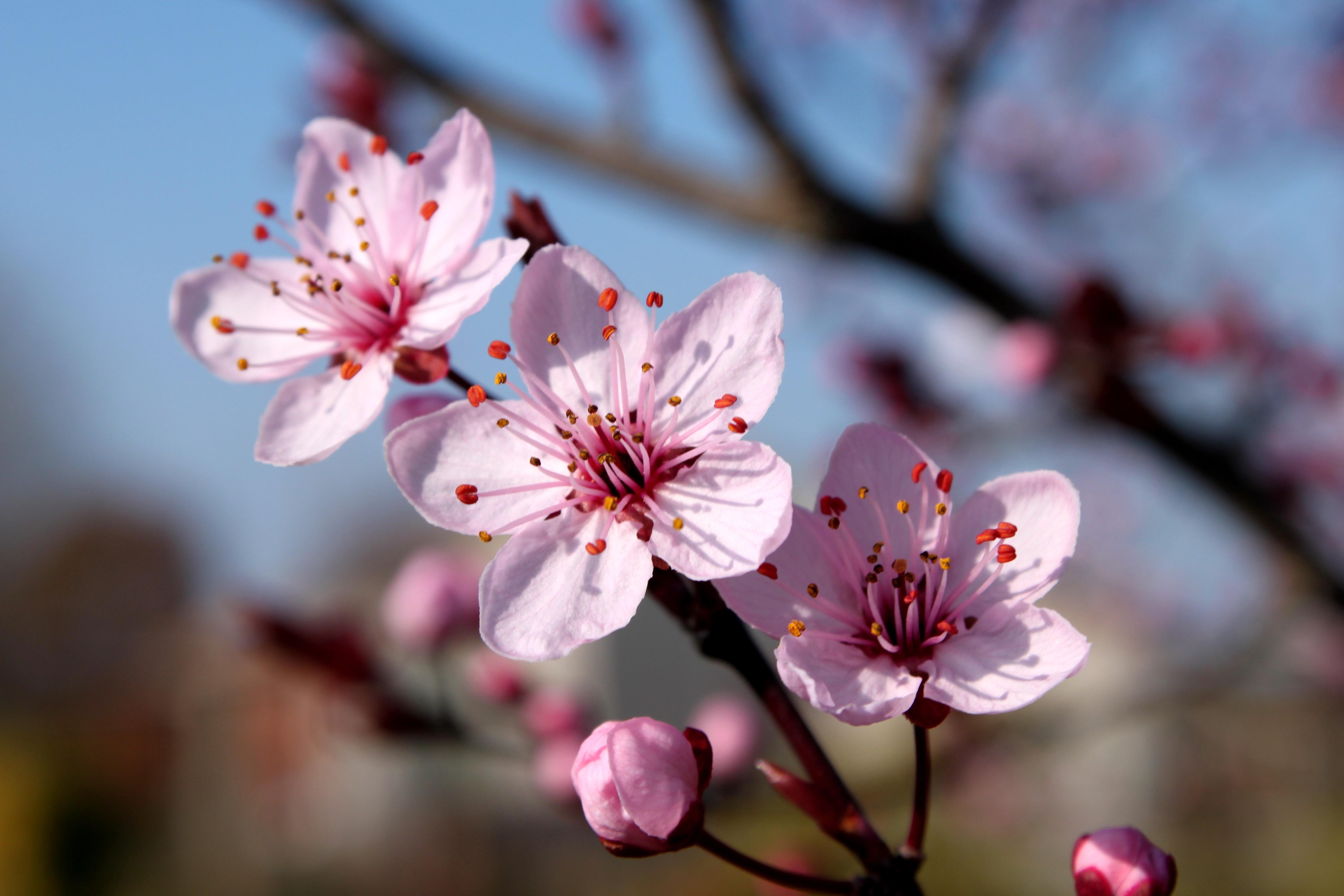 cherry_blossom_2_by_rickygw-d58jthn.jpg