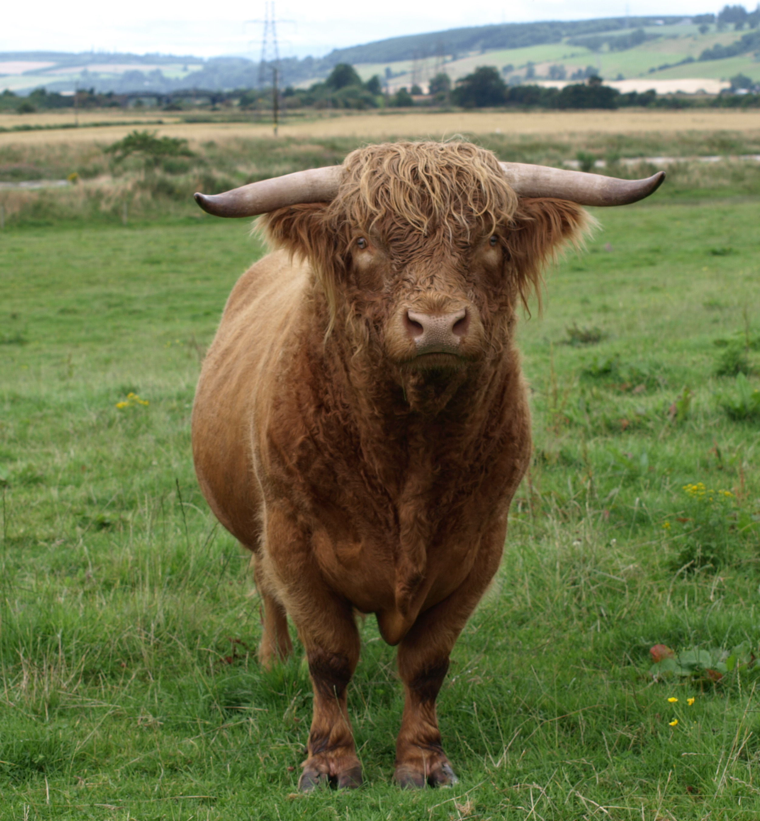 Highland_Cattle_bull.jpg